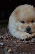 chow chow chiot