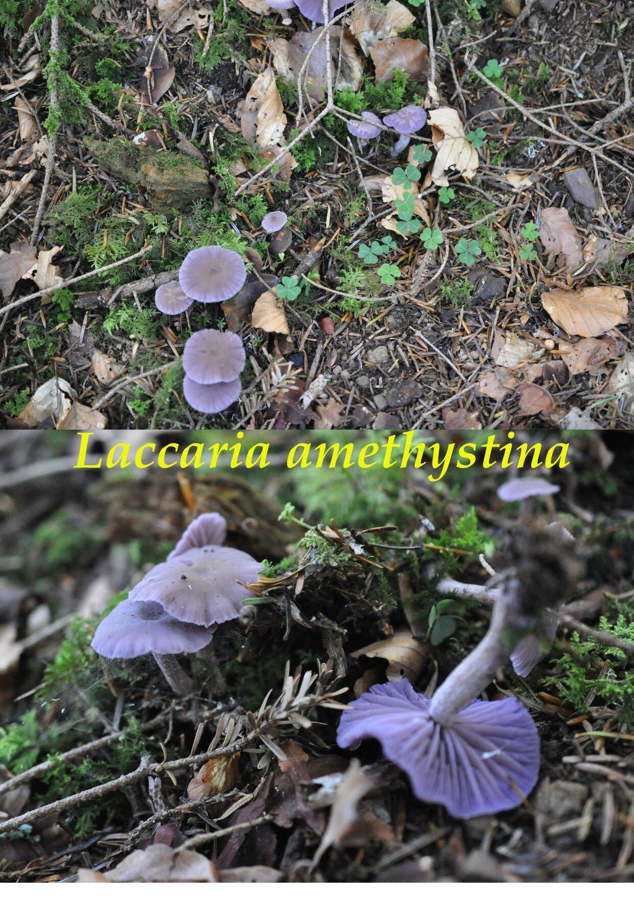 Laccaria amethystina