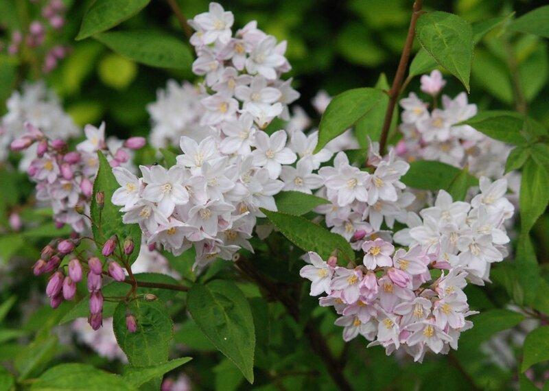 Deutzia kalmiiflora