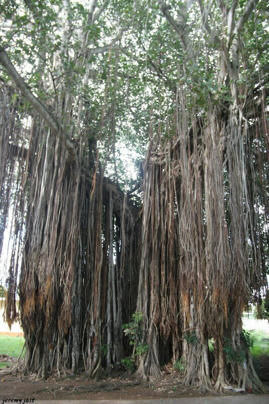 Banian du temple de Triolet