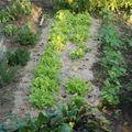 plantes condiments. feuilles de chêne ,haricots verts