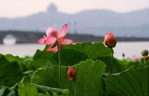 fleur-de-lotus_1217677494