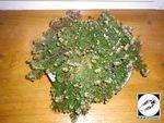 Selaginella lepidophylla - Plante resurection 12