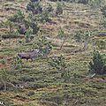 Brame du cerf en montagne