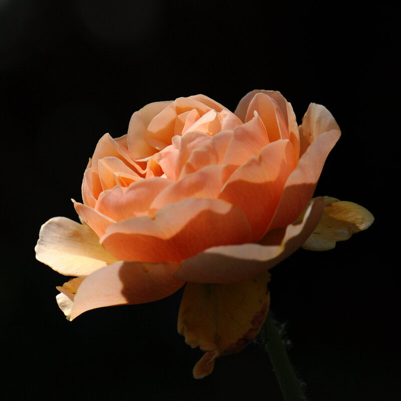 Rose saumon 10