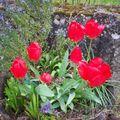 Les tulipes du bac en bois