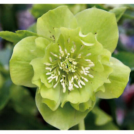 hellebore-ou-rose-de-noel-or-double-ellen-green