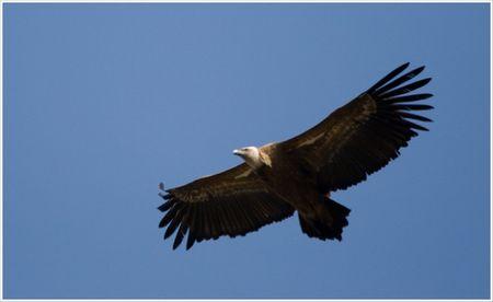 Aragon_Guara_vautour_profil__150309