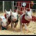 Cochons Coureurs