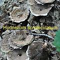 Hydnellum scrobiculatum