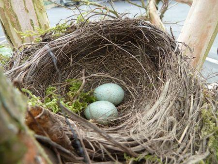 25-nid de merle (9)