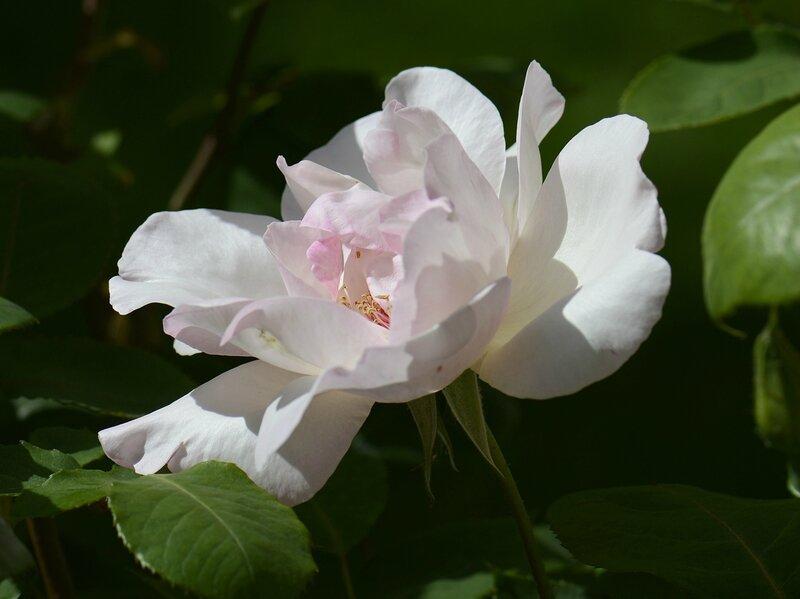 Rose Sophie 50
