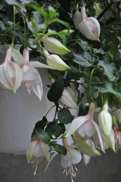 fuchsia blanc détail