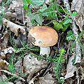 Russula sp (8)