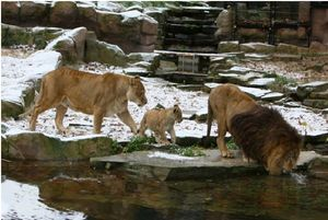 VICTOR LION ZOO ANVERS