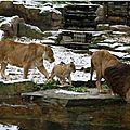 Le vieux lion mâle du zoo d'anvers est mort