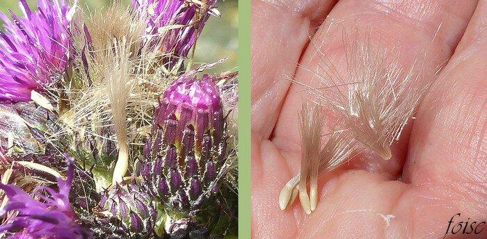 akènes jaunâtres 2-3 mm aigrette 7-10 mm