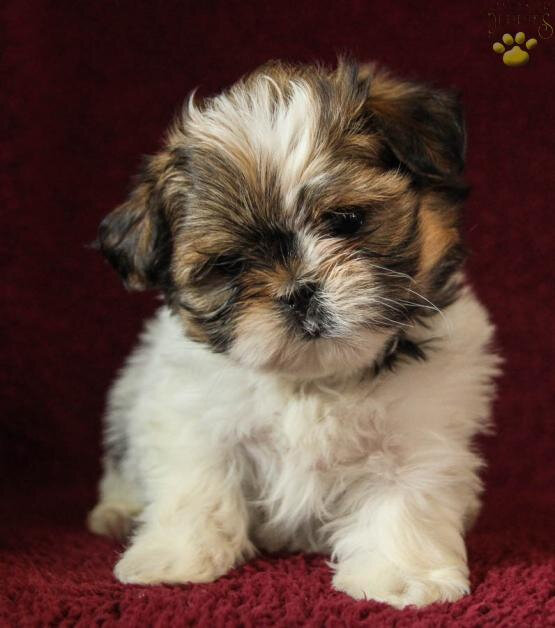 12_CHIOT_CHIEN, SHIH TZU_A_VENDRE_A_ADOPTER_PARTICULIER__ELEVAGE_ELEVEUR_11_34_30,aude_narbonne_ HERAULT_GARD_MONTPELLIER_ NIMES_LUNEL_NEWS_PRESS_CARD_2019_
