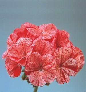 Geranium_Zonal_Raspberry_Ripple
