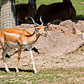 antilope beauval2