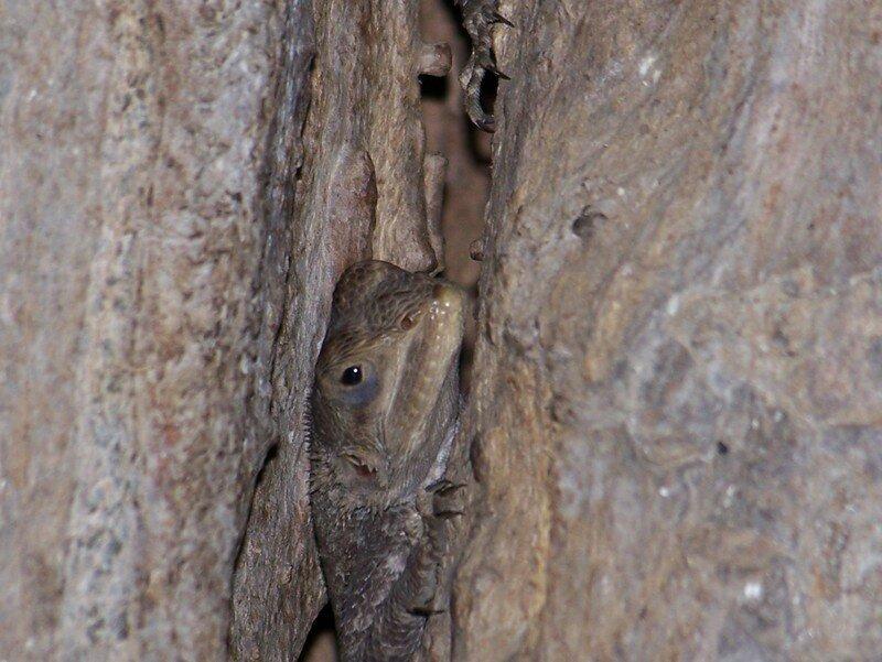 lézard dans une fente d'arbre
