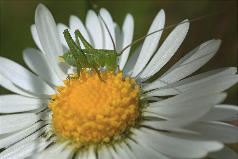SM mur sauterelle broute pollen 300321 2 ym