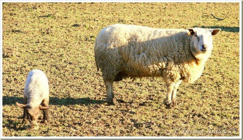 Les moutons et leurs agneaux