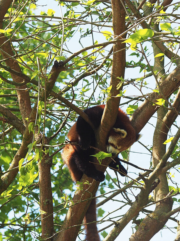 zoo-beauval-animaux-panda-roux-35
