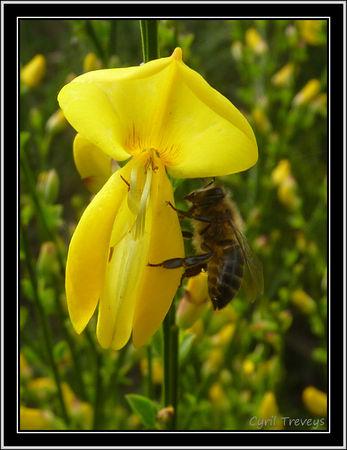 2010_06_01_Une_abeille_sur_une_fleur_de_genet