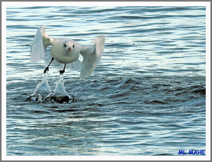 MOUETTE PHOTO ML MAHE