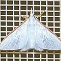 Cirrhochrista etiennei