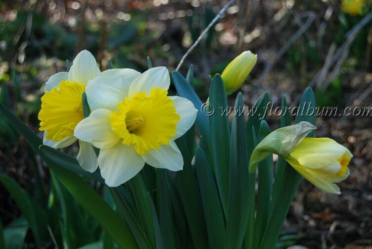 Narcissus ' Attraction'
