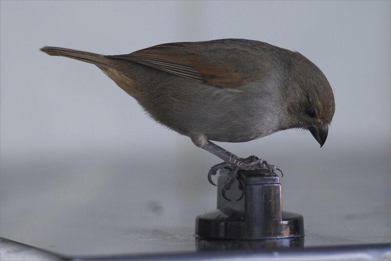 Martinique J10 7D Madi 5 YM oiseau proxi gaz