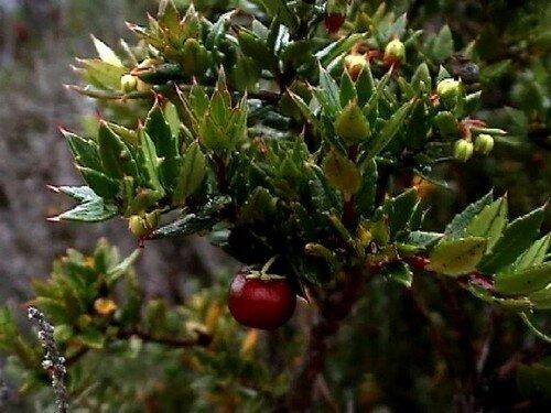 Berberis ilicifolia ou Michay