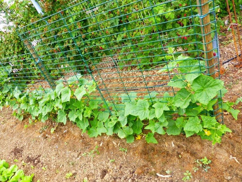 23-jardin ouest-cornichons