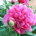 Les fleurs de mounette