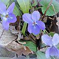 Violettes (3)