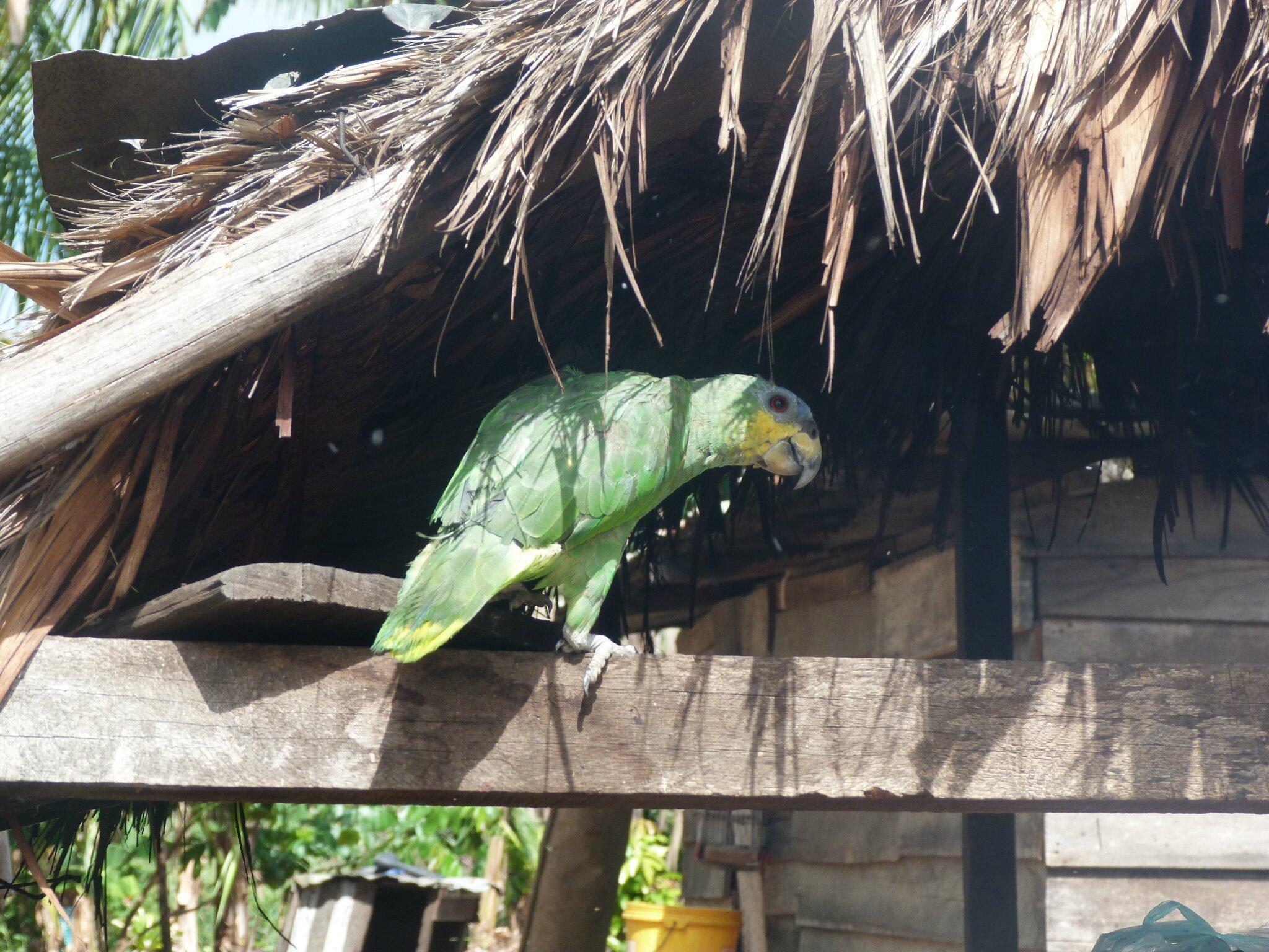 perroquet dans un village Amérindien