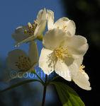 seringat_fleur