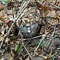 Russula cyanoxantha (2)