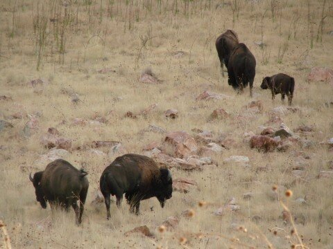 Antilope Island - Bisons sauvages