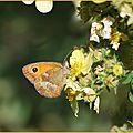 Papillon sur potentille