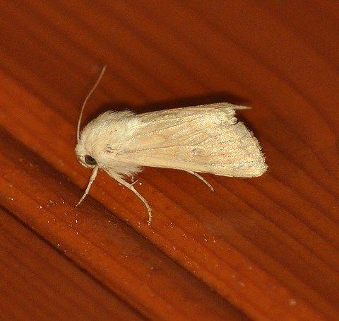 Mythimna vitellina ( Aletia vitellina) (La Leucanie vitelline)