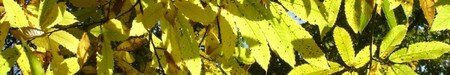 Feuilles_chataigniers_1