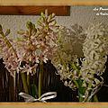 La ronde des fleurs : les jacinthes...