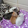 Surette et ses chatons 6 - les bb à Choeurs d'Anges