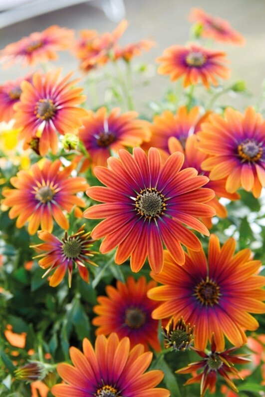 osteospermum_purple_sun_fleuroselect
