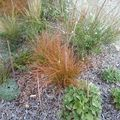 carex pour le jardin orange