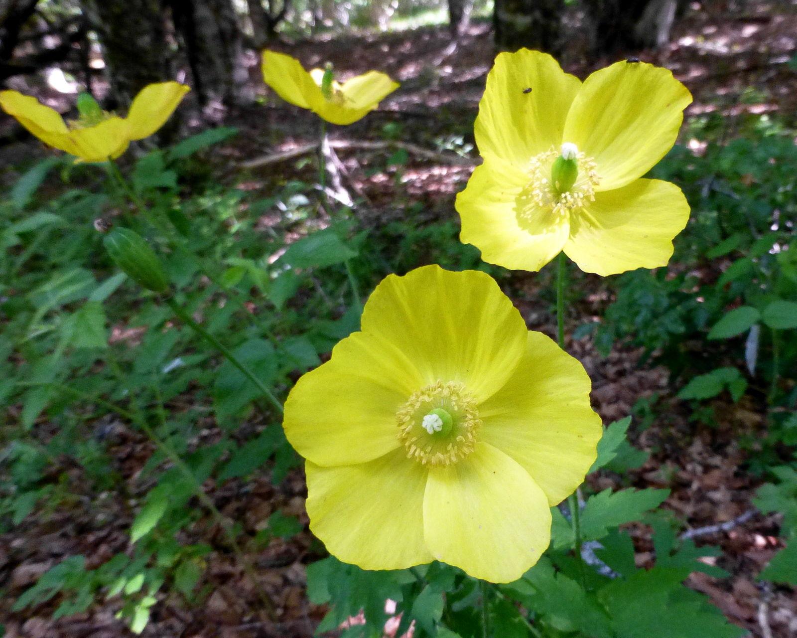 pavot jaune (meconopsis cambrica)