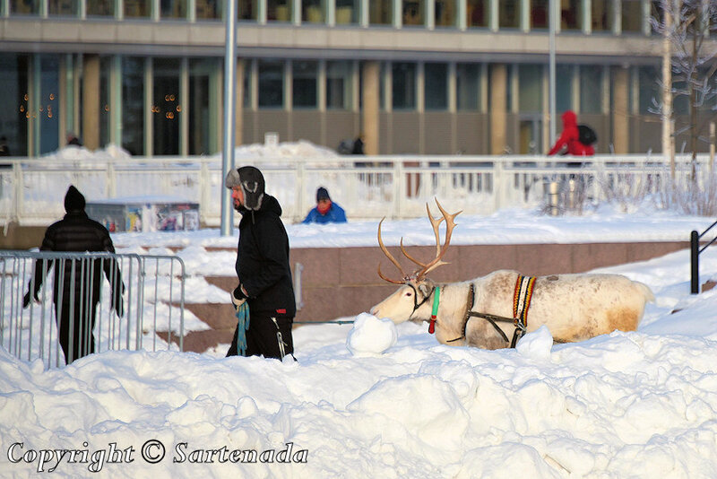 reindeer_rides_for_families_oulu_-8
